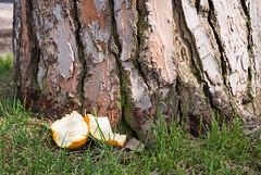 Corteccia e Buccia (Matt Jardine) Tags: park italy orange parco rome roma tree grass tangerine italia grove hill bark peel clementine lazio corteccia aventino aventine latium buccia savello