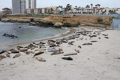 La Jolla Seals (drothamel) Tags: california beach water la rocks seal jolla