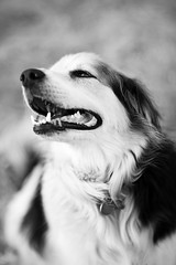 Grinning Like A Fool (belleshaw) Tags: blackandwhite dog goofy smiling happy backyard bokeh cooper 85mmf14