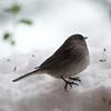 frozen (nosha) Tags: winter usa snow cold bird nature beautiful beauty birds june newjersey nj mercer february blizzard avian mercercounty pennington 2010 lightroom penningtonnj 105mmf28 nosha nikoncorporation nikond300 snopocalypse snomaggedon 11600secatf30