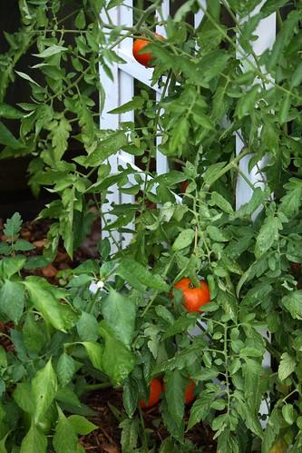 Tomatoes June 17, 2010