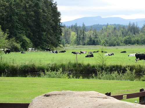 The cows at Little Qualicum Cheeseworks