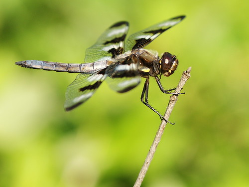 Side view of a male Twelve-Spotted Skimmer dragonfly, showing dark brown eyes, brown thorax with a yellow stripe and lighter brown abdomen partially covered by powdery blue pruinescence.