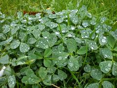 اشک دسته جمعی شبدرها (shadi13se) Tags: ، باران پاییز سبزه چمن شبنم یهار