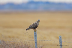 Rough-legged Hawk (Eddy Matuod) Tags: wild canada calgary nature canon eos hawk country creative experiment explore prairie widlife iamcanadian naturesfinest 1dmkiin 14xtc creativemoment abigfave 600f4 1d2n avianexcellence naturethroughthelens