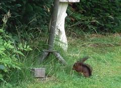 Red squirrel (cee live) Tags: red animals germany squirrel creatures mammals taunus vulgaris sciurus