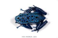 Dendrobates tinctorius azuresus (Thor Hakonsen) Tags: frog poisondartfrog dendrobatesazureus dendrobatestinctorius amphibia dendrobatidae dartfrog nikond700 dendrobatestinctoriusazureus