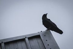 Watching the skies (Anxious Silence) Tags: animal architecture bird birds building corvid crow marwellzoo metal minimal nature places roof silhouette style texture wildlife zoo zoom