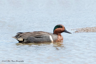 Green-winged Teal ©