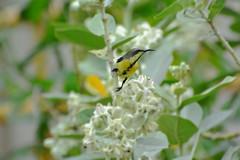 Purple-rumped sunbird (sanath :)) Tags: sunbirds purple rumped sunbird nature nikon1 birdsofindia
