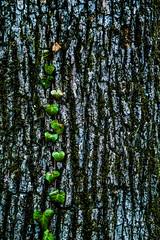 Misc. Outdoors-2.jpg (Drew Rampley) Tags: brown flat lichen moss oak rough texture tree treebark vine winter woods