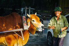 livelihood (edwardpalmquist) Tags: city people street nature travel urban hat animal adult man smile asia cow vietnam outdoors mammal ninh binh
