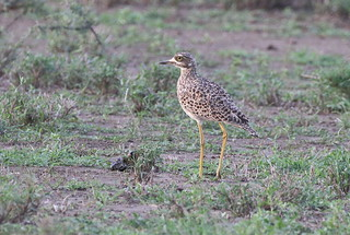 Kaapse griel - Spotted Thick-knee - Burhinus capensis capensis