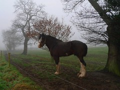 Ted (Jackie & Dennis) Tags: ted cheshire stallion shirehorse colebrook cotebrookshirehorsecentre