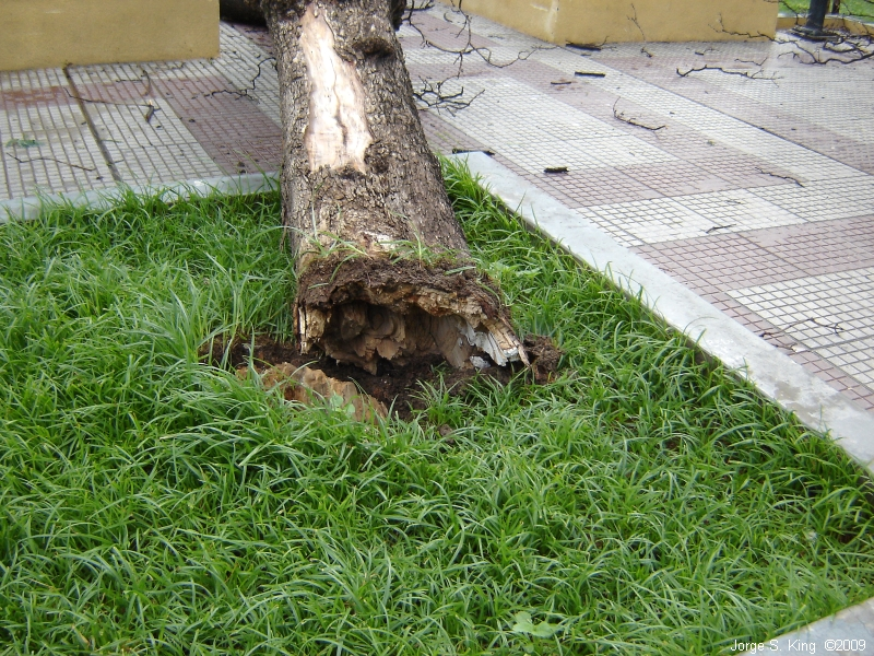 Árbol caído II