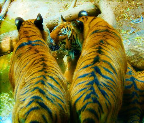 3 tiger cubs