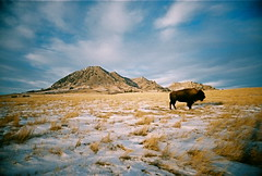 oi! Buffalo! (samimi-extremie) Tags: winter snow film southdakota ultrawideslim holyplace bearbutte
