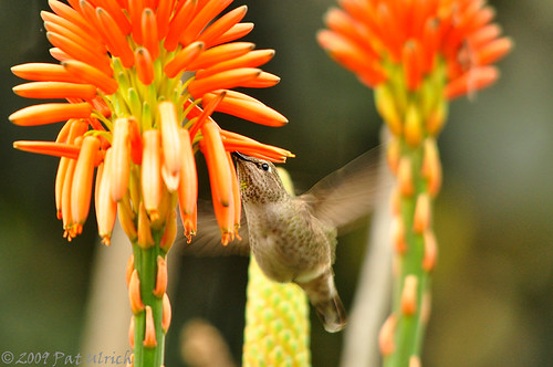 Hummingbird lunch