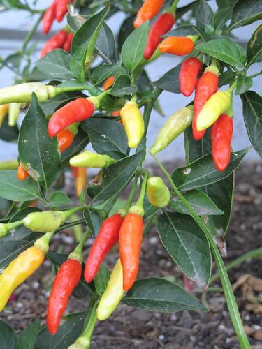 Fresh Chilies = Fresh Hot Sauce