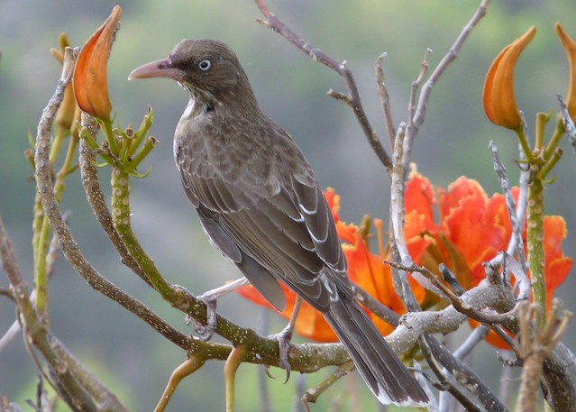 Pearly Eyed Thrasher from Guana Island