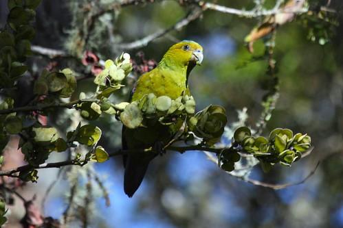 Hapalopsittaca fuertesi parrot