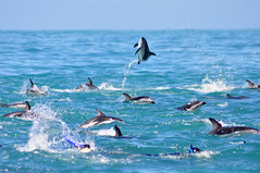 RtW2009 071 Dusky Dolphins - Kaikoura Dolphin Encounter (mothclark62) Tags: newzealand wildlife southisland kaikoura duskydolphin dolphinencounter