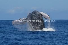 Underside of Whale (Na Pali Riders) Tags: kauai whalewatching napalicoast napaliriders