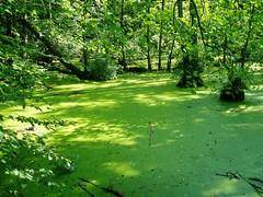 Rgen, Jasmund National Park - Green harmony (Sokleine) Tags: germany deutschland seaside pond meer baltic insel swamp ddr rgen allemagne ostsee knigsstuhl mecklenburgvorpommern baltique slumps