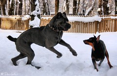 Savannah & Tequila (Devilstar) Tags: winter dog playing black cane tim eyes italian action spirit tiger mastiff corso running german savannah breed docked rare pinscher deutscher pincher duitse koer sacrum saksa  worldwinner  pinter cropped timspiriteyesofthetiger