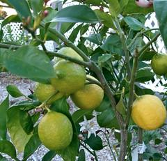 my lemon tree fruiting