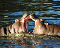 Big mouths ! (Z Eduardo...) Tags: africa nature water animal mouth tanzania nationalpark wildlife unesco worldheritagesite safari hippo hippopotamus serengeti mywinners superaplus aplusphoto platinumheartaward natureoutpost platinumpeaceaward