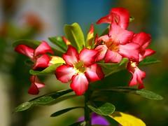 Red's (AlfredoZablah) Tags: flores orchid flower nature colors digital reflex orchids expo olympus el colores explore alfredo salvador orquídeas zuiko hdr exposicion mejor mejores bellezas naturales e510 uro 70300mmed xplored zablah macrolife alfredozablah