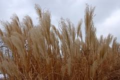 l bend but I do not break: 19/365 (mattfarra) Tags: winter sky grass ornamental swishy project365 2010yip