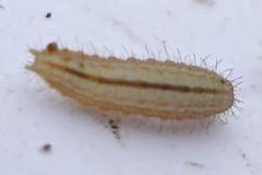 Larva (Mick E. Talbot) Tags: lincolnshire larvae larva lincolnwildlife