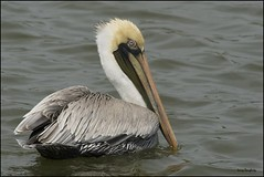 """Blondie"" (Larry Daugherty) Tags: bird fly wings nikon louisiana aves pelican d200 brownpelican animalia seabird shorebird metairie lakepontchartrain pelecanus pelecanidae pelecaniformes pelecanusoccidentalis chordata indianbeach divingbird nikon300mmf4lens bonnabelboatlaunch"