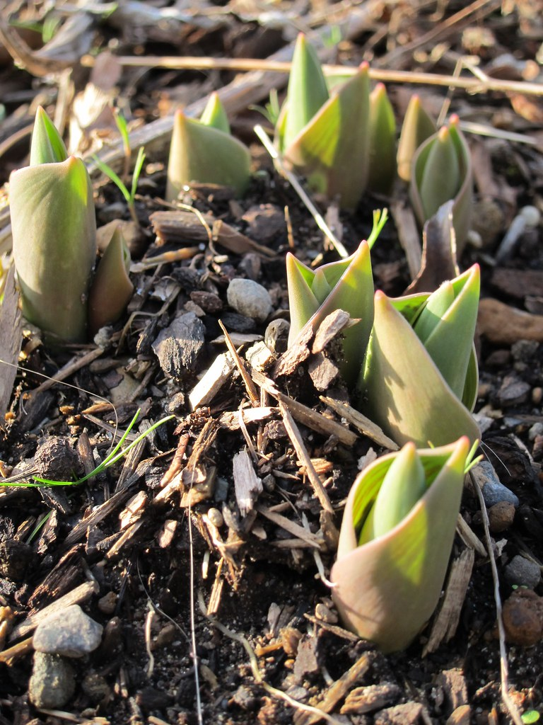 First tulips on the rise