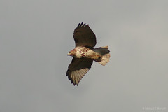 Floyd County - Red-Tailed Hawk (9)