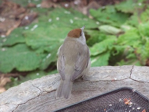 Blackcap (female) (2)