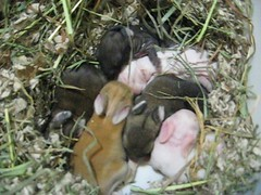 Day 6 video (marigoldmind) Tags: bunnies fosters rabbits hrs houserabbitsociety