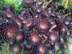 aeonium arboreum schwarzkopf (this is emily) Tags: home seagarden aeonium aeoniumarboreum aeoniumarboreumzwartkop aeoniumarboreumschwarzkopf nativesgarden gardengeeknz