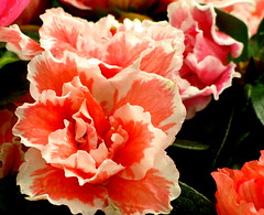 Azalea (etoma/emiliogmiguez) Tags: azalea florestenerifecanarias