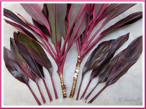 Propagating Hawaiian Ti or Ti Plant (Cordyline terminalis): tip cuttings with lower leaves removed