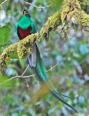 Resplendent Quetzal (David Y. Allen) Tags: birds costarica talamanca resplendantquetzal quetzals