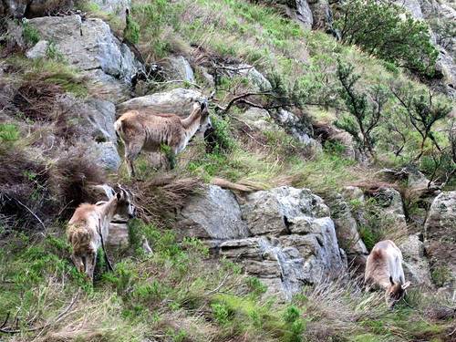 Himalayan Tahr on Table Mountain