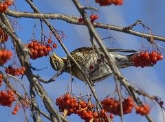 snap! (ressaure) Tags: winter bird nature birds fauna feeding siberia rowan turduspilaris fieldfare  akademgorodok