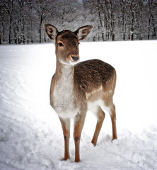 roe in the snow (Phlipp D) Tags: ngc specanimal platinumheartaward goldwildlife flickrestrellas naturethroughthelens quarzoespecial 100commentgroup platinumbestshot platinumpeaceaward flickrvault magicunicornverybest magicunicornmasterpiece mygearandmepremium mygearandmebronze thelargestgroupintheworld onlythebestofnature