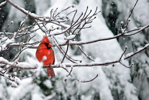 Northern Virginia cardinal