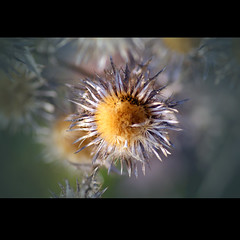 (Yoko  (Paulina)) Tags: light sun flower macro nature deutschland see licht dof bokeh sony natur gelb nah blume sonne februar 2010 tiefenschrfe blausteinsee drwiss yoko87 yokosfoto yokosarts