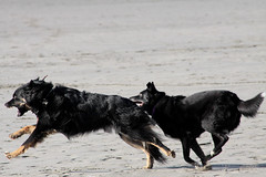 Napoleon and Pee Pee at Play (kenneth barton) Tags: pets playing cute beach dogs oregon seaside play napoleon doggies playful muts peepee kennethbarton rossfarrier kennethbartonphotographer kennethbartonphotography