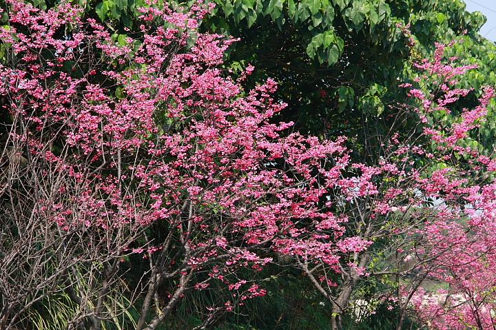 樹林大同山青龍嶺的櫻花林0026